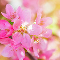 Apple Blossoms Cheerful Glow by Leland D Howard
