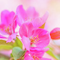 Apple Blossoms Colorful Glow by Leland D Howard