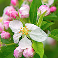 Apple Blossoms With Raindrops by Sharon Talson