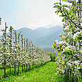Apple Trees In Blossom, Mountain Range by Andreas Strauss / Look-foto