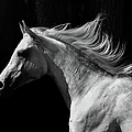 Arab Stallion by Photographs By Maria Itina
