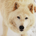 Arctic Wolf by Curt Remington