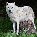 Arctic Wolf Pups Feeding by Jim Cumming