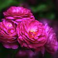 Ardent Rose by Jessica Jenney