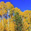 Arizona Aspens And Blowing Leaves by Dawn Richards