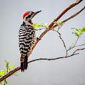 Arizona Ladderback Woodpecker by Janice Pariza