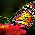 Artistic Monarch by Don Johnson