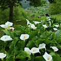 Arum Lillies In The Hills by Phil Banks