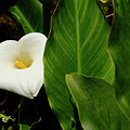Arum Lily by August Timmermans