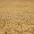 A Field Of Wheat by Vicen Photography