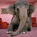 Asian Elephant In Lying On Rug In by Matthias Clamer