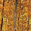 Aspen Forest by Anthony Dezenzio