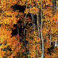 Aspen Glow Panoramic by Leland D Howard