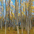 Aspens by Philip Rodgers