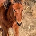 Assateague Island Pony Foal by Kristia Adams
