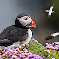 Atlantic Puffin And Soaring Gannets by Arterra Picture Library