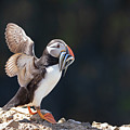 Atlantic Puffin With Sand Eels by Elliott Coleman