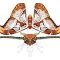 Atlas Moth3 by Joan Stratton