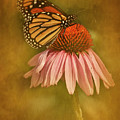 Attracted Monarch by Scott Kemper