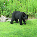 August Bear 3 by Amy E Fraser