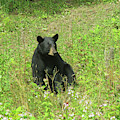 August Bear 4 by Amy E Fraser