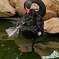 Australian Black Swan 005 by Chris Flees