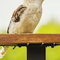 Australian Kookaburra by Jorgo Photography - Wall Art Gallery