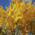 Autumn Aspen Trees Impressionism by Isabella Howard