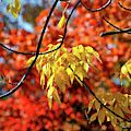 Autumn Foliage In Bar Harbor, Maine by Bill Swartwout Fine Art Photography