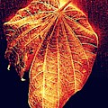 Autumn  Leaf  Aglow by VIVA Anderson