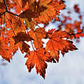 Autumn Maple Leaves by Maria Keady