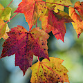 Autumn Maple Leaves by Robert Potts
