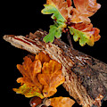 Autumn Oak Leaves And Acorns On Black by Gill Billington