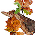 Autumn Oak Leaves And Acorns On White by Gill Billington