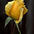 Autumn Yellow Rose by Richard Thomas