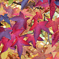 Autumnal Liquidambar Tree Leaves by Tim Gainey
