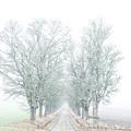 Avenue Of Maple Trees In Fog by Torbjorn Swenelius