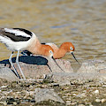 Avocet Couple by Judi Dressler