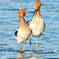 Avocet Dance by Judi Dressler