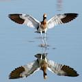 Avocet Landing by Michael B Smith