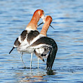 Avocet Love by Judi Dressler
