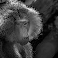 Baboon Black And White by Diego Garcia