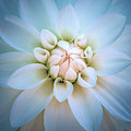 Baby Blue And Pink Dahlia by Julie Palencia