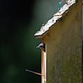 Baby Blue Bird - Looking For Breakfast by Dale Powell