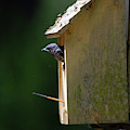 Baby Blue Bird Peeking Out by Dale Powell