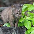 Baby Bobcat On Stump In The Woods by Dan Friend