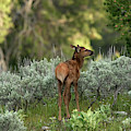 Baby Elk by Ronnie and Frances Howard