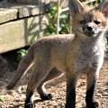 Baby Fox by Kim Bemis