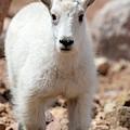 Baby Mountain Goat by Steve Krull
