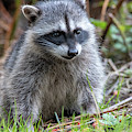 Baby Raccoon by Ross G Strachan